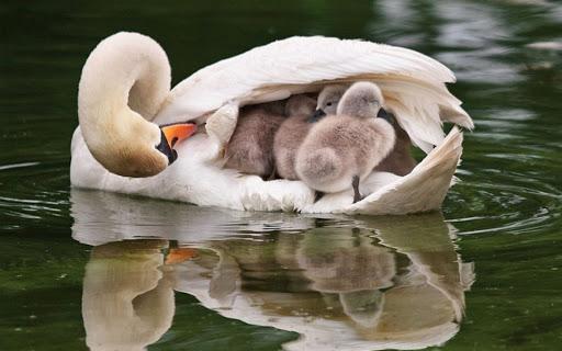 Если в Приднепровье много лебедей - ждем теплую весну ПРОГНОЗ ПОГОДЫ