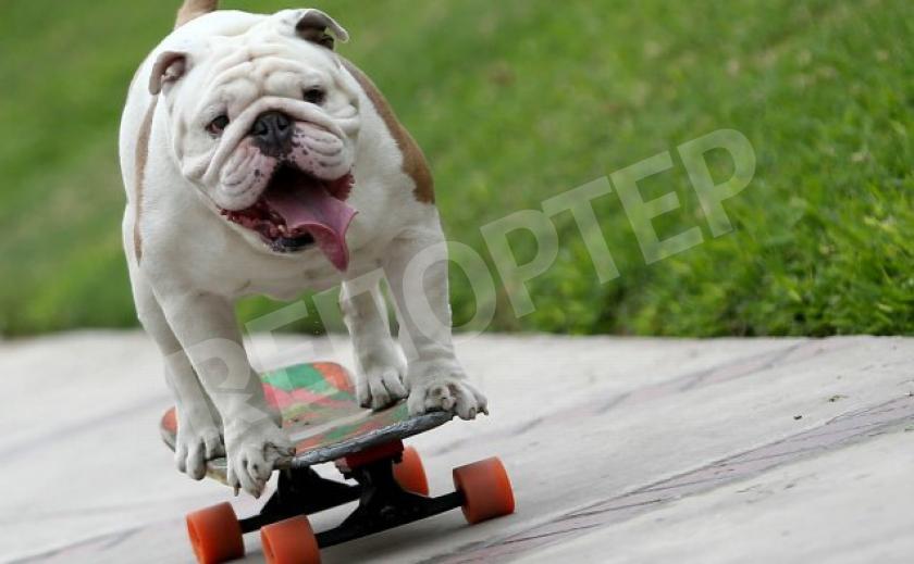 Бульдог Отто - скейтер из Лимы