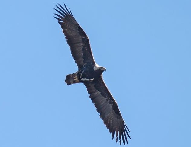 На Днепропетровщине появилась редкая хищная птица