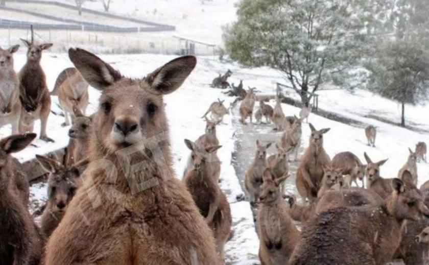 Австралию засыпало снегом - кенгуру в шоке!