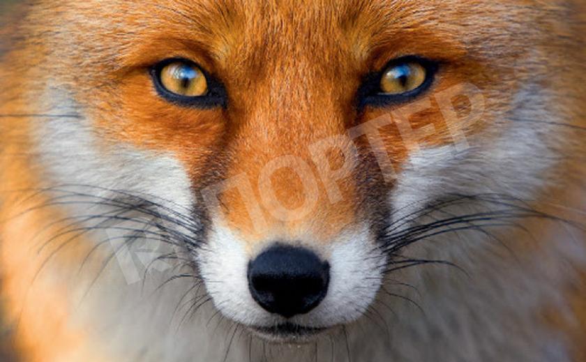 Какой же он на самом деле, крадущийся лис