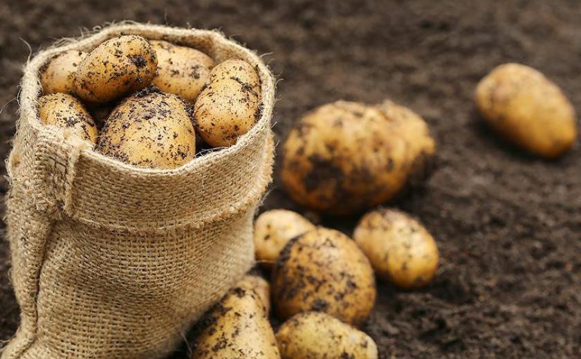 Внимание, огородники! Готовьте картофель на посадку ПРОГНОЗ ПОГОДЫ