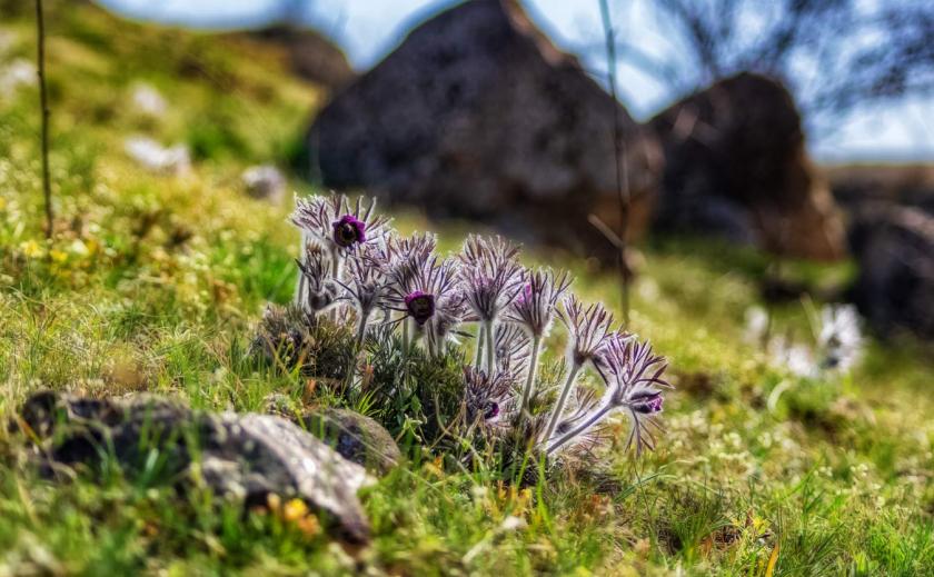 На Днепропетровщине обнаружили крупнейшую популяцию сон-травы ФОТО